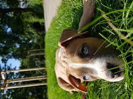 Zeus Bad Iburg Staffordshire Terrier U0026 Staffordshire Terrier Welpen Kaufen