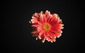 carbon gerber daisy wallpaper u2013 designerfied com