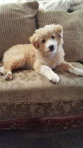 australian shepherd jack russell terrier best 25 australian shepherd mix ideas on pinterest australian