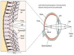Pathway Of Light Through The Eye Associate Degree Nursing Physiology Review
