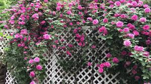a huge climbing rose on trellis youtube