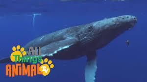 humpback whales animals for children kids videos kindergarten