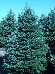 fraser fir tree wholesale fraser fir trees