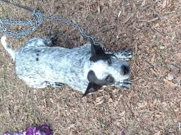 bluetick coonhound price bluetick coonhound pitbull mix es pictures and descriptions