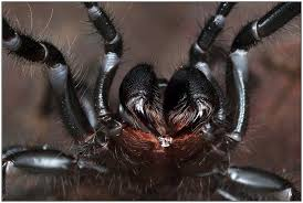 southern tree funnel web spider hadronyche cerberea flickr