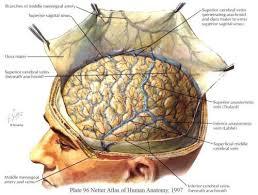 Netter Atlas Of Human Anatomy Online Reflection Of The Dura Mater From U0027netter Atlas Of Human