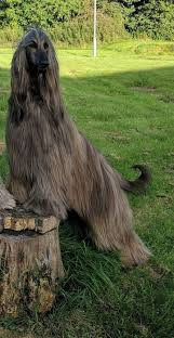 afghan hound tattoo best 25 afghan hound ideas on pinterest hound dog breeds