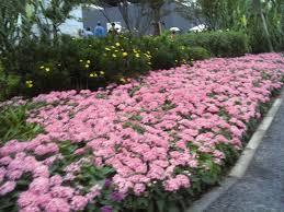 pentas flower pentas lanceolata kaleidoscope pink annual benary