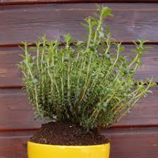 sarriette cuisine plantes à cultiver dans sa cuisine femininbio