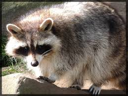 fluffy raccoon by azurehowlshilach on deviantart