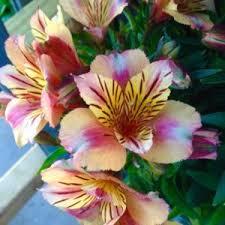 peruvian lilies peruvian alstroemeria princess lilies in the peruvian