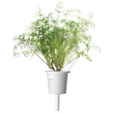 dill growth refill for indoor herb garden click u0026 grow