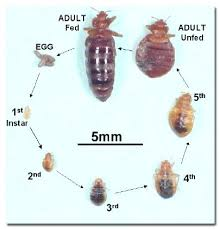 how do bed bugs travel images Dealing with bed bugs when you travel how do bed bugs travel bed jpg