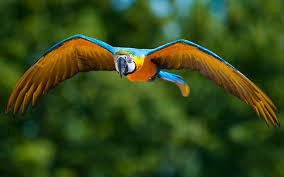 bird wallpapers wallpaper macaw bird wallpapers