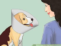 How to Keep Your Dog Calm After Neutering 13 Steps