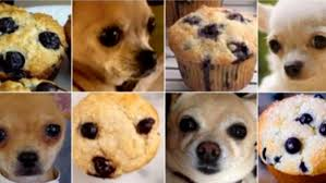 Meme Chihuahua - goofy new internet meme asks is this a chihuahua or muffin