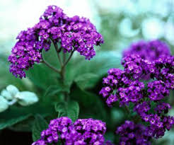 heliotrope is another old fashioned garden flower that is more
