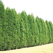 best 25 buy trees ideas on trees