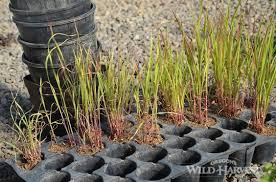 oregon s harvest sudan grass not medicinal but a
