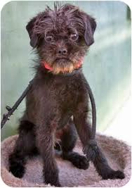 affenpinscher with underbite tonka adopted puppy los angeles ca brussels griffon