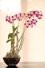 orchids care dendrobium orchid care tips