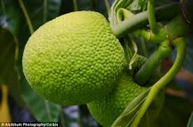 Judge A Tree By Its Fruit - breadfruit is high in protein and has the potential to feed the