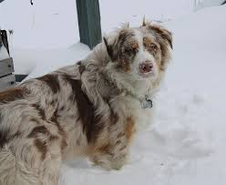 australian shepherd dog food 604 best owned by an aussie images on pinterest aussies animals