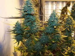 northern lights yield indoor 4 strains for super large yields gold leaf jack herer white widow