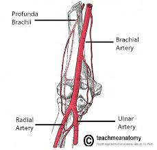Anatomy Of The Right Arm Arteries Of The Upper Limb Teachmeanatomy