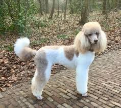 afghan hound and poodle best 25 poodle cuts ideas on pinterest poodles standard