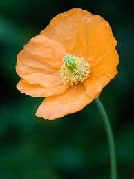 how to bring a dead plant back to life how to plant a poppy container garden hgtv