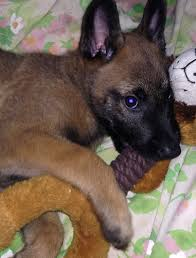 belgian sheepdog oregon belgian malinois puppy animals pinterest belgian malinois