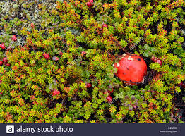 tundra native plants barrenlands tundra plant community lingonberry and amanita