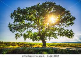 big trees stock images royalty free images vectors