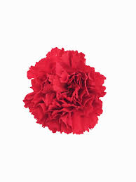 Wholesale Carnations Red Carnations In Bulk Metropolitan Wholesale Nj Ny