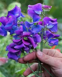 sweet pea flowers lathyrus odoratus blue shift sweet pea buy online at s