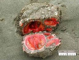 edible rocks horrifying living rock that bleeds when you cut it open