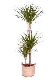 plante d駱olluante chambre plante dépolluante pour chambre dracaena marginata