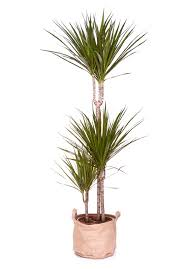 plante de chambre plante dépolluante pour chambre dracaena marginata