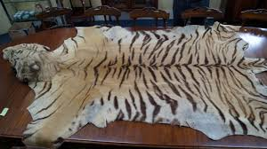 taxidermy a full tiger skin rug with head mount attributed to