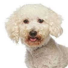 bluetick coonhound rescue california tulsa ok bluetick coonhound meet ranger a dog for adoption