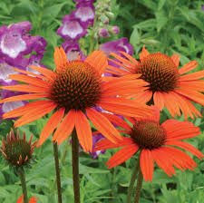 Fragrant Garden Plants Coneflower Dixie Blaze 25
