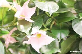 dipladenia bush mandevilla plant how to care and prune