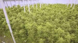 cannabis plants indoor rack focus cannabis marijuana indoor