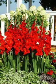 nagel u0027s red rose pink glad catalog online gladiolus catalog