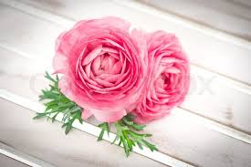 Ranunculus Flower Pink Ranunculus Flowers With Green Leaves Stock Photo Colourbox