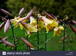 golden lily stock photos u0026 golden lily stock images alamy