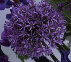 tall bearded irises in shades of purple arrangements with purple