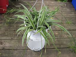 Most Difficult Plants To Grow Learn About The Care Of Spider Plants