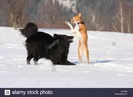belgian shepherd temperament basenji and belgian shepherd dog groenendael playing in snow